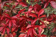 Colorful red leaves in autumn Royalty Free Stock Photos