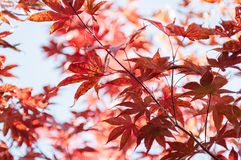 Colorful red leaves on a background of blue sky. stock photo