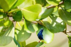Colorful Red-legged Honeycreeper (Cyanerpes cyaneus) perched on a branch Royalty Free Stock Image