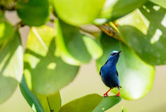 Colorful Red-legged Honeycreeper (Cyanerpes cyaneus) perched on a branch Royalty Free Stock Photography