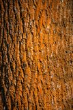 Colorful red in lichen old forest tree trunk bark, Germany. Closeup, details royalty free stock photos