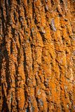 Colorful red in lichen old forest tree trunk bark, Germany. Closeup, details royalty free stock image