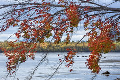 Colorful red maple hanging over lakewater in northwestern Maine. Close-up of fall foliage of a shoreline tree, draped over the sandy beach at Flagstaff Lake in Royalty Free Stock Photography