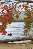 Colorful red maple hanging over lakewater in northwestern Maine. Royalty Free Stock Images