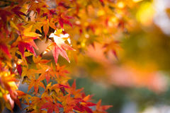 Colorful Red Maple Leaf Vibrant Tree in Japan during Autumn Seas Royalty Free Stock Photography