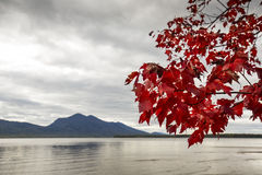 Colorful red maple makes a curtain onto lakewater, northwestern Royalty Free Stock Image
