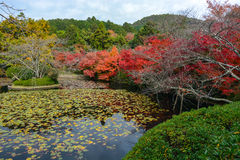 Colorful red maples and a lily pad pond during autumn in Kyoto, Japan Stock Image
