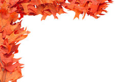 Colorful red oak leaves Stock Photos