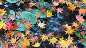Colorful red, orange, and yellow autumn maple leaves falling into a lily pad pond stock video footage