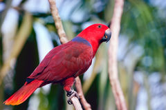Colorful red parrot Royalty Free Stock Photo