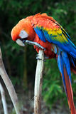 Colorful Red Parrot. A brightly colored parrot sits on a tree branch Royalty Free Stock Image