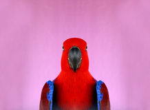 Colorful a red parrot Royalty Free Stock Photography