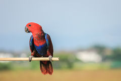 Colorful red parrot, a female Eclectus parrot Royalty Free Stock Photos