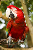 Colorful red parrot. In a forest stock images