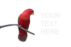 Colorful red parrot isolated in white Stock Images