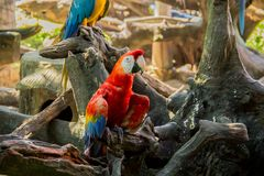 Colorful red parrot macaw. On the tree in Bangkok, Thailand Royalty Free Stock Image