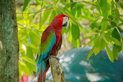 Colorful red parrot macaw. On the tree in Bangkok, Thailand Stock Photos