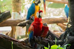 Colorful red parrot macaw. On the tree in Bangkok, Thailand stock images