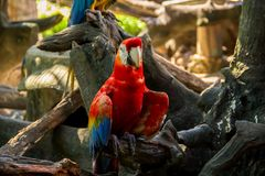 Colorful red parrot macaw. On the tree in Bangkok, Thailand royalty free stock images
