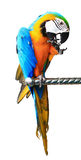 Colorful red parrot macaw isolated Royalty Free Stock Photography