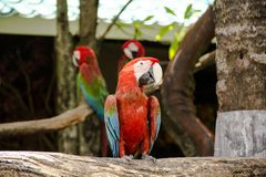 Colorful red parrot macaw. On the tree in Bangkok, Thailand stock photography