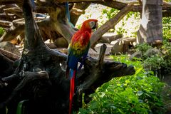 Colorful red parrot macaw. On the tree in Bangkok, Thailand Royalty Free Stock Photo