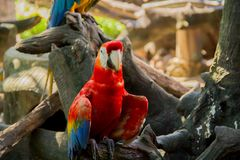Colorful red parrot macaw. On the tree in Bangkok, Thailand stock image