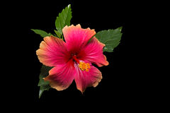 Colorful Red Pink Orange Hibiscus on Black Background Royalty Free Stock Photo
