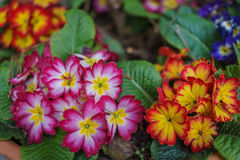 Colorful red, pink and orange primrose Primula flowers in daylig Royalty Free Stock Photography