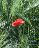 Colorful red poppy flowers Royalty Free Stock Image