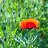 Colorful red poppy flowers Stock Images
