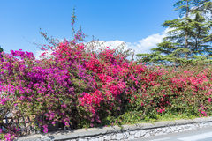 Colorful red and purple bougainvillea flowers at the Island Sicily, Italy Royalty Free Stock Images