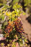 Colorful red, purple, yellow and orange berries Royalty Free Stock Photos