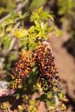 Colorful red, purple, yellow and orange berries. On a Sambucus elderberry bush Royalty Free Stock Photos