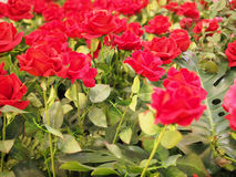 Colorful red rose flower for valentine Stock Photo
