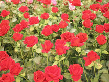 Colorful red rose flower for valentine Stock Images