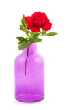 Colorful red rose in purple vase Stock Images