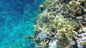 Colorful Red Sea Fishes Swimming near Coral Reef. Egypt. Snorkeling.