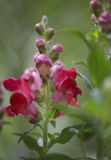 Colorful red snapdragon or Antirrhinum flower Royalty Free Stock Photography
