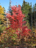 Colorful red tree in the woods. Pictures taken during one of my numerous walks in the woods, behind a lost town Royalty Free Stock Photo