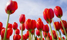 Colorful red tulips reach to the bright blue sunny spring sky. Stock Image