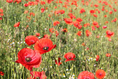Colorful red wild poppies in a field. stock images