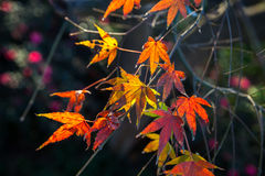 Colorful red and yellow autumn leaves in the sunlight Stock Photography