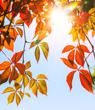 Colorful red and yellow autumn leaves Stock Photo