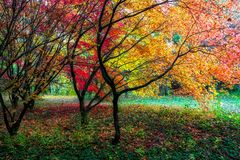 Colorful red Autumn leaves on trees. Colorful red and yellow autumn leaves on trees at park. Arboretum Mlynany, Slovakia stock photos