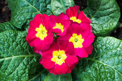 Colorful red yellow flowers with green leaves in ornamental garden. bright day light. beautiful natural blooming primula acaulis Stock Image