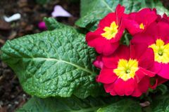 Colorful red yellow flowers with green leaves in ornamental garden. bright day light. beautiful natural blooming primula acaulis Stock Photography