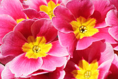 Colorful red and yellow flowers in spring Stock Images