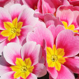 Colorful red and yellow flowers in springtime Stock Photography