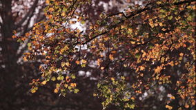 Colorful red and yellow leaves on tree branch stock video